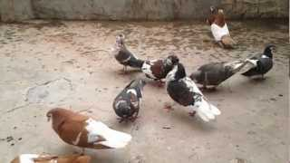 Agra beautful pigeons India-Indian