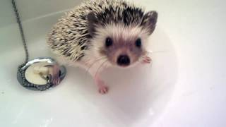Baby hedgehog takes bath
