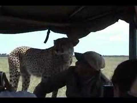 Cheetah in the Car Video