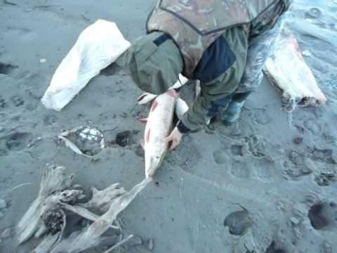 ловля судака на оби 2016