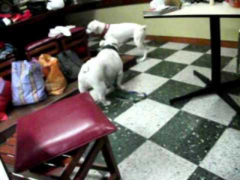 Albino Bulldog Boxer Albino y Bulldog