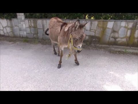 Donkey meets Woman and Dog | Doberman scared of Donkey!