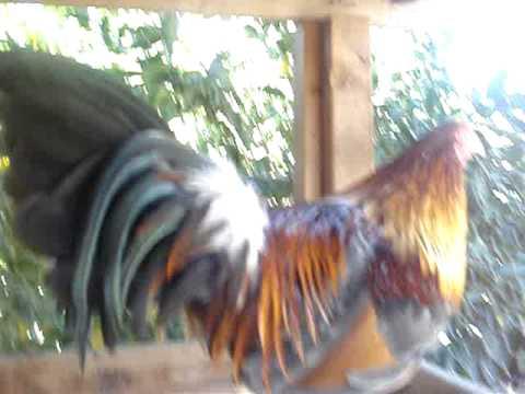 miss gallos de pelea 2