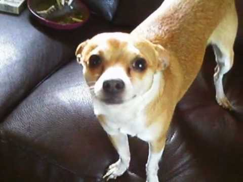 Deer Legged Chihuahua Jumps over a gate without touching it - YouTube