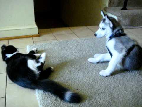 mishka (husky pup) & hachi (kitten) - YouTube