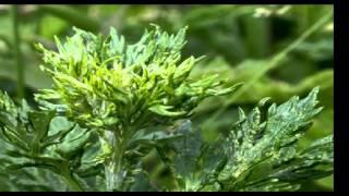 ARTEMISA - PLANTAS MEDICINALES