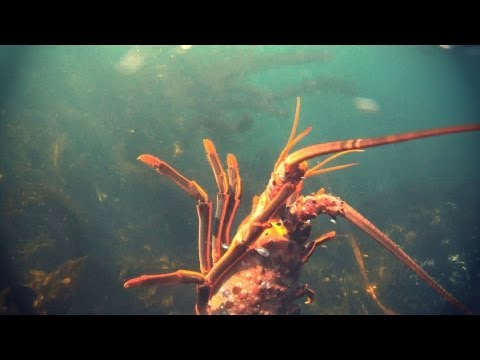 HD Daytime California Lobster Diving
