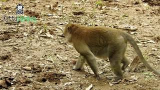 Why female monkey hit little baby, poor little baby, strange baby monkey born with red hair on head