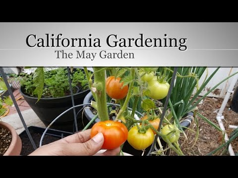 The California Garden In May - First Tomato Harvest!