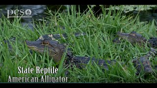 See Baby Gators, Protective Mama Gator & Bellowing Daddy Gator on Life Science at a Social Distance