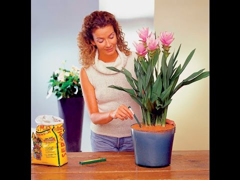 Авокадо растет в домашних условиях