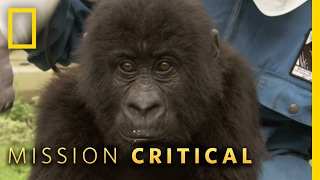 Top 3 Mountain Gorilla Moments   Mission Critical