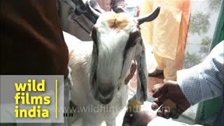 Download Goat's last supper before qurbani on Bakri-Id, Delhi 3Gp Mp4
