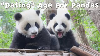 "At What Age Do Pandas Start To ""Date Someone""? 