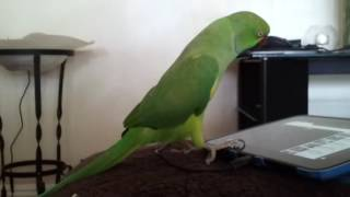 Pakistani Ringneck Parrot Talking