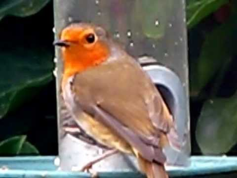 Robin Red Breast . British Birds UK . European Robin . Birding & Wildlife UK