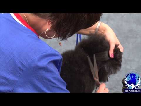 Grooming the Pet Toy Poodle in a Sporting Dog Trim Part 2