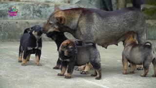 Xúc Xắc Xúc Xẻ - Những Chú Chó Vui Nhộn - Nhạc Thiếu Nhi Hay