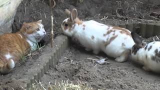 Cat vs Rabbits