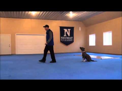 Jade (pitbull Terrier) Dog Training Boot Camp Video video