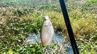 QUÁ TRỜI THÁC LÁC RỒI, CÂU NGAY Ổ CÁ THÁC LÁC GIỰT ĐÃ TAY // Fishing near the city