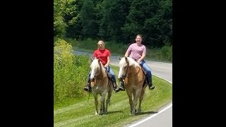 Haflinger gelding team out for a trail ride - Rozzi and Reno