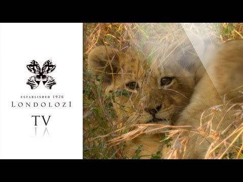 Tsalala Breakaway Cub Suckles from Lioness- Londolozi TV