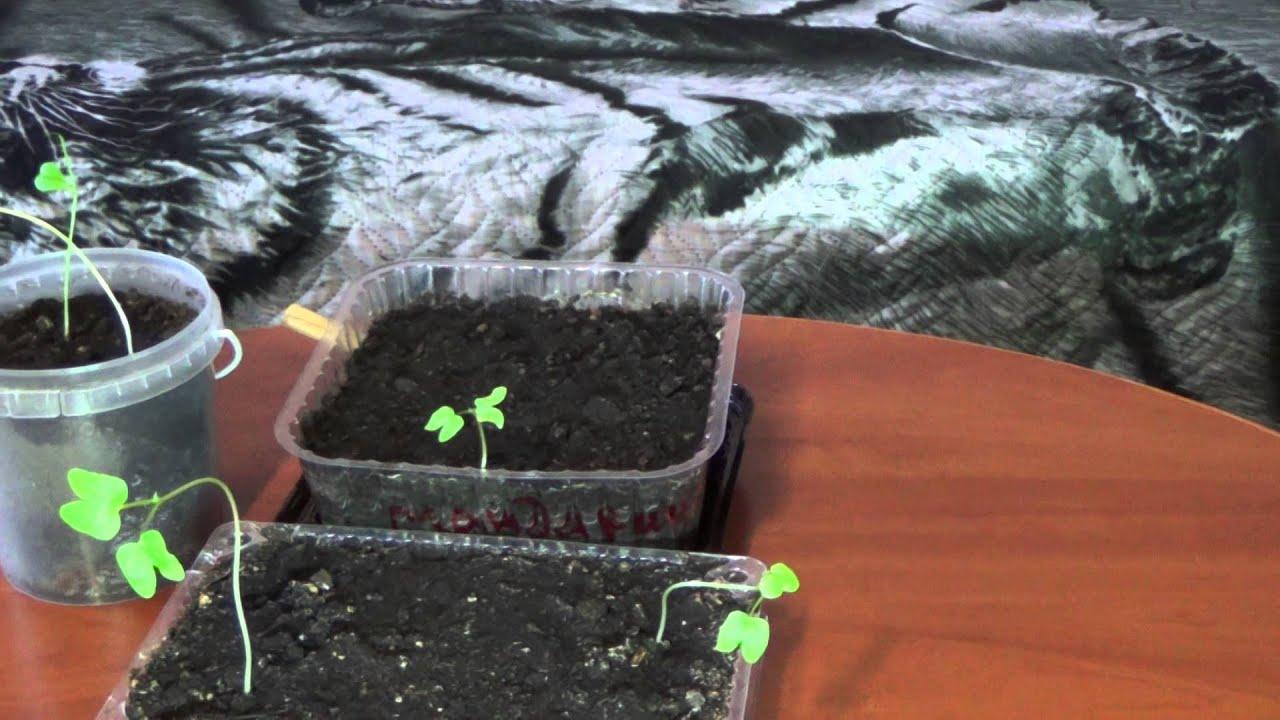 Вырастить памелу в домашних условиях
