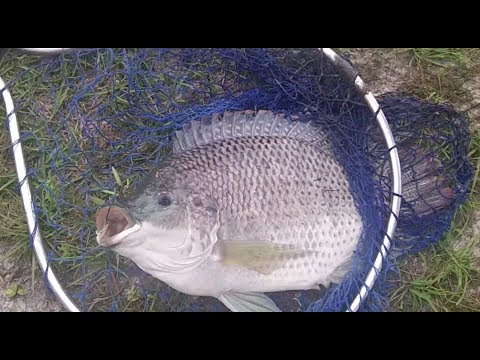 Giant Tilapia Caught In A Hat