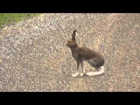 Смелый заяц