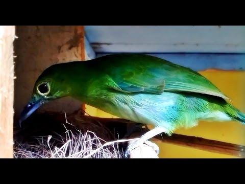 Burung Cucak Ijo Bangun Sarang