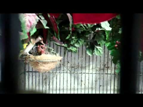 First succsessful incage european goldfinch breeding project