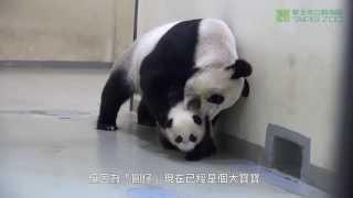 Հրաշալի տեսանյութ. պանդա-մայրիկը քնեցնում է իր փոքրիկին