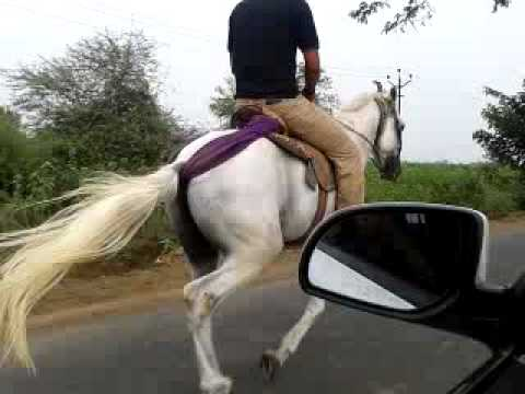 Sindhi Horse Sanjay Daliya12.mp4 video