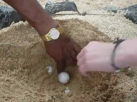 Sri  Lanka,ශ්‍රී ලංකා,ceylon,sea Turtle Eggs,chelonioidea video
