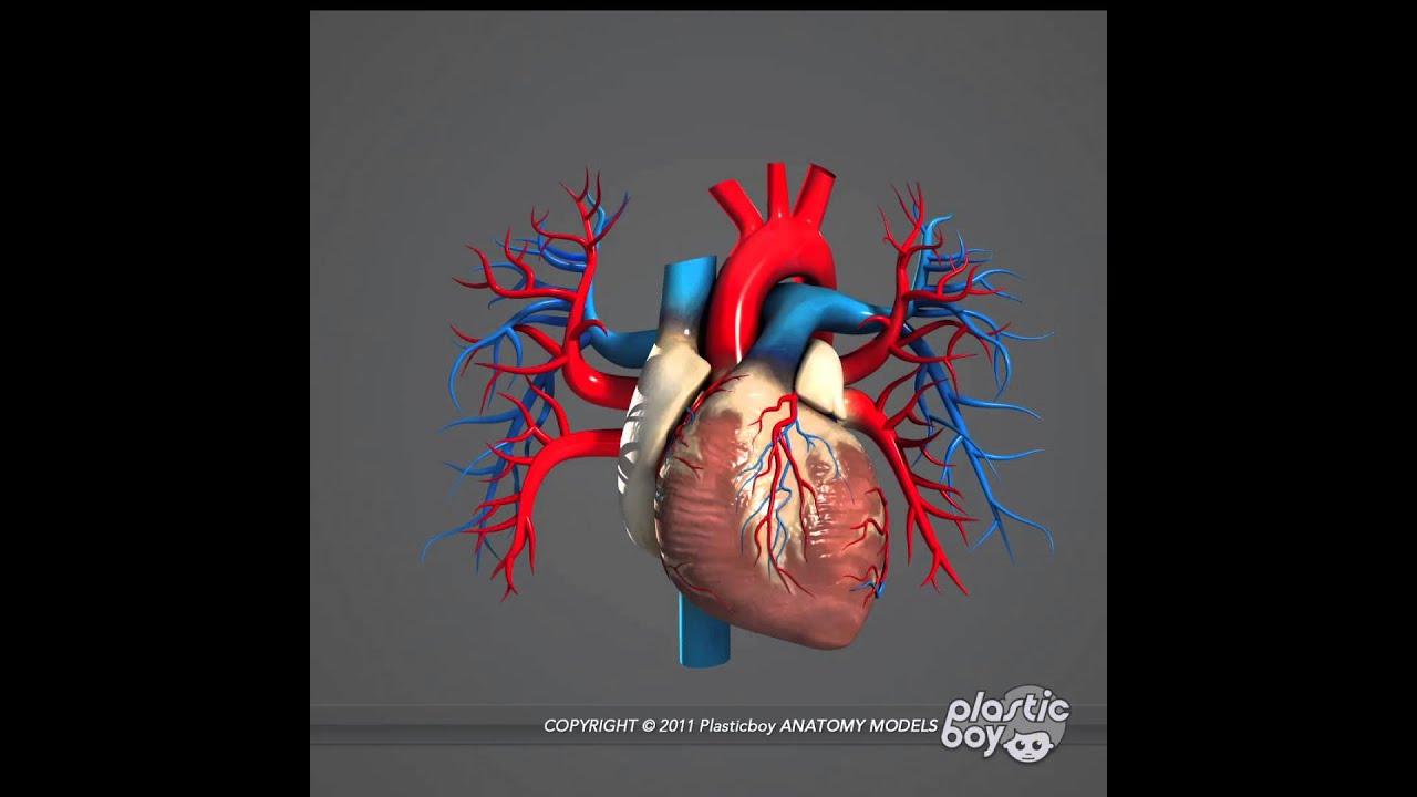 How to Make a 3d Model of a Human Heart Human Heart 3d Model Pack