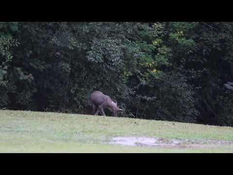 Chupacabra Caught On Camera! Full Video Picayune,MS [HD]