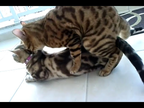 Bengal cat mating / Gatos Bengal Cruzando
