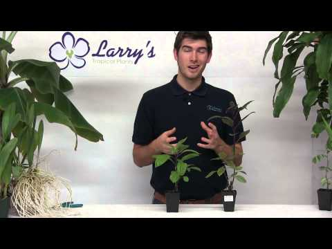 How To Grow Okinawan & Longevity Spinach