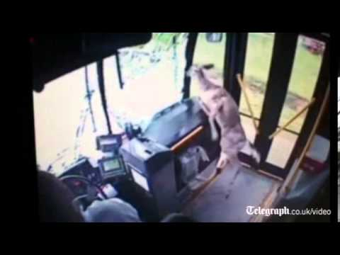 Deer crashes through bus windscreen, and lives