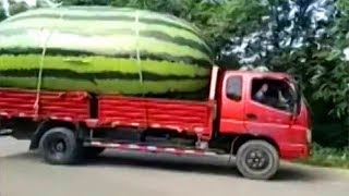 Largest Watermelon? World's Largest Fruit