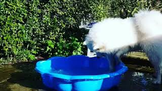Willow the samoyed playing in the water