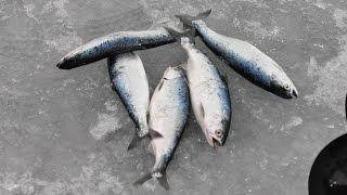 Underwater Kokanee Ice Fishing