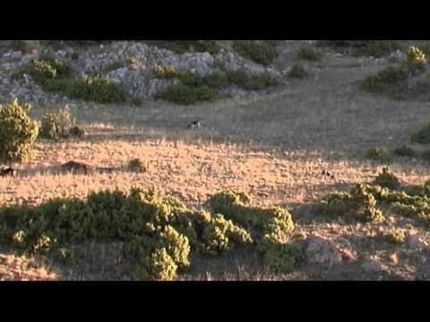 κυνηγι λαγου
