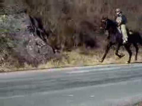 Booden Booden SInglefooting Speed Racking Stallion