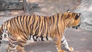 Tigers @ Safari World, Bangkok, Thailand