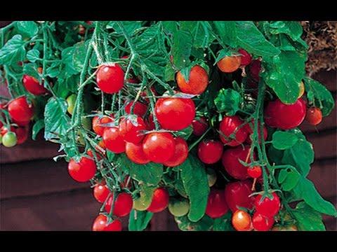 Высокоурожайные балконные помидоры
