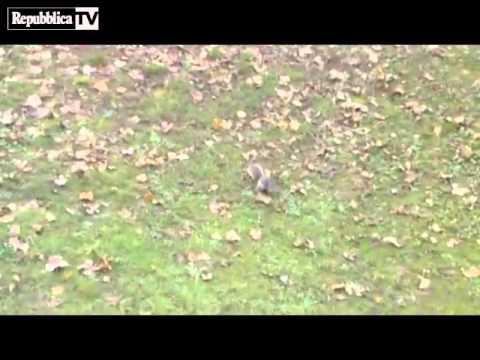 Torino, lo scoiattolo va a caccia di piccioni