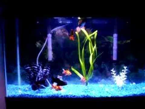 goldfish tank size. Goldfish Aquarium Tank