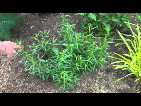 Betty's Herb Garden Update  --   June, 2013